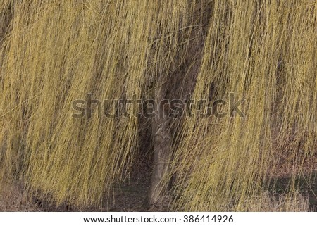 The curtain of willow branches. End of winter. - stock photo