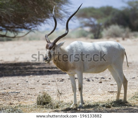 The curved horned antelope Addax (Addax nasomaculatus) is a native inhabitant of the Sahara Desert