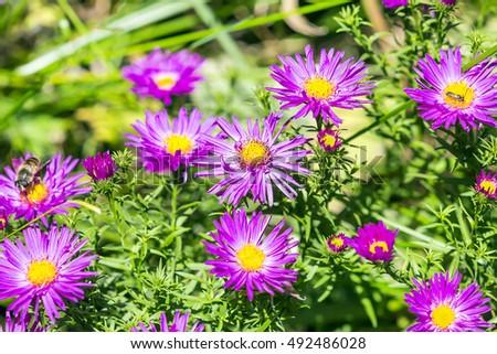 Un must-have, deslumbrante perenne púrpura Salvia | Portland mensualmente