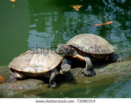 The cute couple turtle on the log - stock photo
