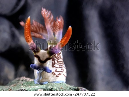 THE CUTE DEVIL HORN NEMBROTA LINEOLATA covered by gloved palm from strong current - stock photo