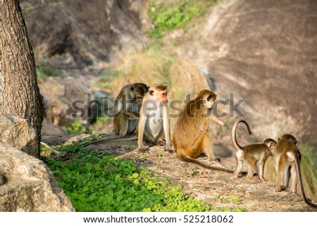 The cute family of monkeys are sitting near the mountain