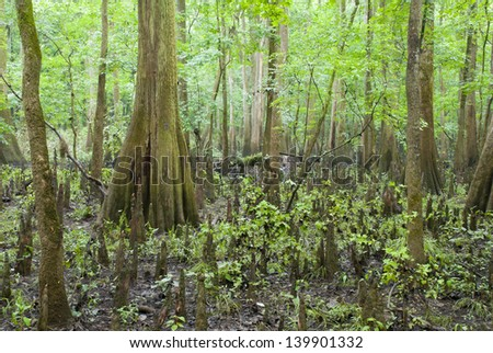 The cypress trees, knees, and swamp of Congaree National Park in South Carolina. - stock photo