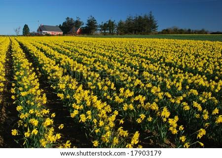 The daffodils ,Ireland - stock photo