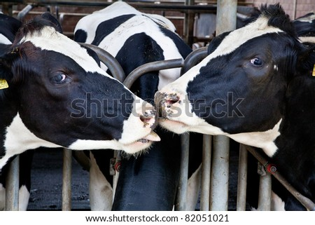 The dairy cows life in a farm. animal cow farm. - stock photo