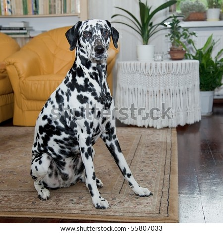 The Dalmatian is a breed of dog whose roots are traced to Dalmatia, a region of Croatia. - stock photo