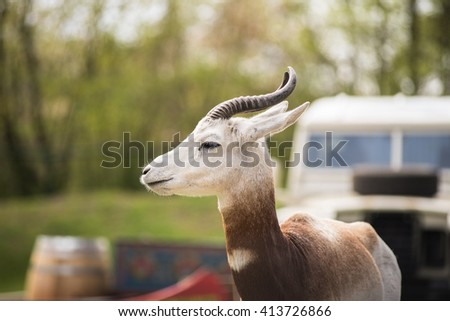 The Dama Gazelle (Nanger dama, formerly Gazelle dama) is a gazelle from the family of Bovidae. This large, conspicuous red - white patterned Gazelle lives in northern Africa and is highly endangered. - stock photo