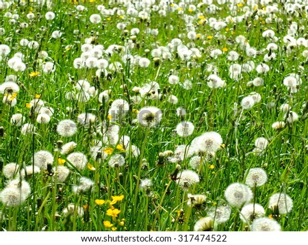 The dandelions blowballs are ready to start seeds downwind. - stock photo