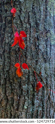 The dark bark of this tree provided an excellent backdrop for the deep red vine.