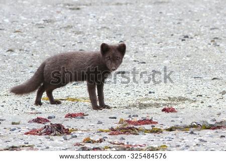 The dark polar fox looks for food on sand on the coast - stock photo