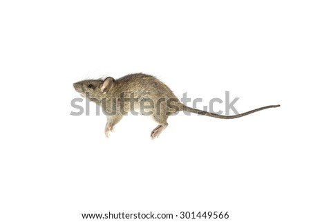 The dead mouse on white background for animal nature backgrounds - stock photo
