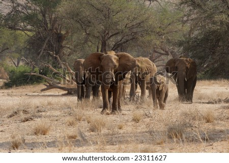 The desert Elephants of northern Namibia are perfectly adapted to a living in their very dry territory; this shot taken in the dry riverbed of the Huab River, Damaraland. - stock photo