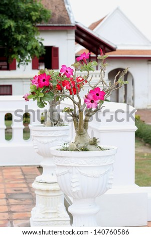 The Desert rose is in a white flowerpot
