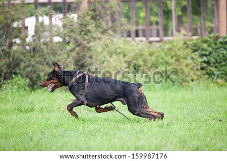 The Doberman Pinscher, an outstanding Hound - stock photo