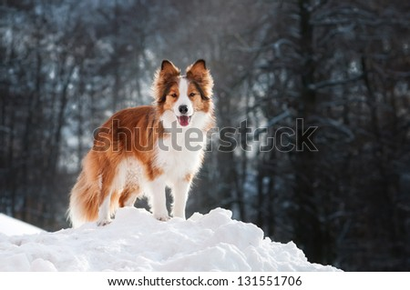 The dog, a Border Collie, on winter walks - stock photo