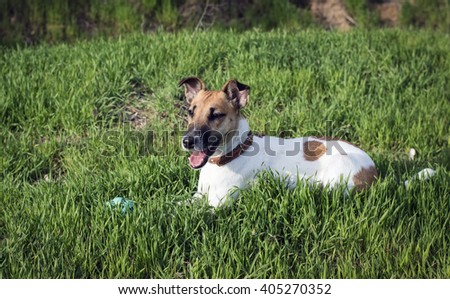 The dog fox terrier playing with a ball on a green glade - stock photo