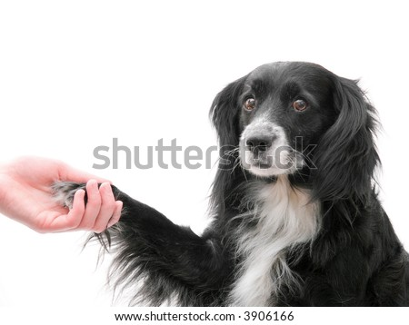 The dog gives a paw in a hand - stock photo