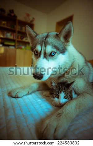 The dog hugs a cat. Cute blue-eyed husky puppy and little pussy lie together in the bedroom on the bed. - stock photo