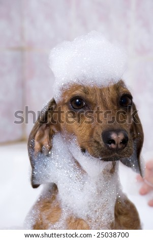The dog in soap suds - stock photo