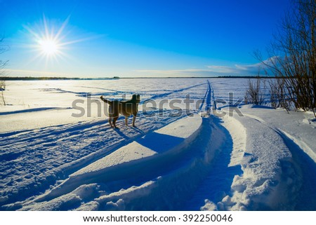 The dog is peering into the distance in a field in winter . - stock photo