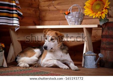The dog lies under a bench in the rural house. Not purebred house dog. - stock photo