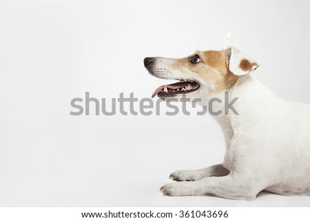 The dog of Russel Terrier lying, waiting - stock photo
