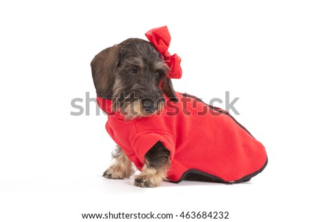 The dog ports a dachshund wire-haired dark-brown color sits in red clothes on a white background, at a dog on the head the red bow is dressed.