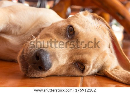 the dog puppy of labrador retriever is cute pet for the family with baby