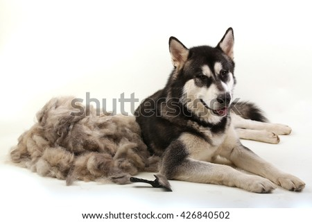 The dog's fur with a dog comb. A dog lies near after shedding their wool. - stock photo