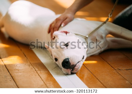 The Dogo Argentino also known as the Argentine Mastiff is a large, white, muscular dog that was developed in Argentina primarily for purpose of big-game hunting, including wild boar. White puppy dog - stock photo
