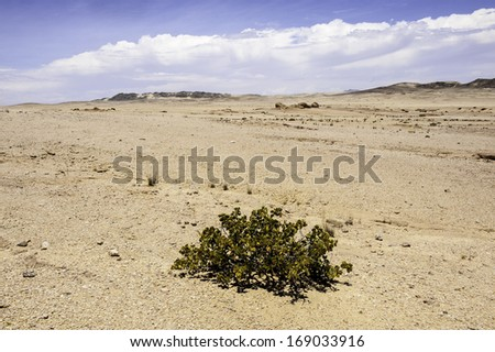The Dollar Bush in Namib Desert where the average annual precipitation is less then 20mm.
