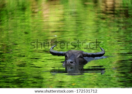 the domestic buffalo hides in water from a heat  - stock photo