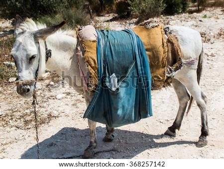 The donkey saddled resting prepared for transport. Land biblical Holy Land, Sebastia in Samaria - stock photo