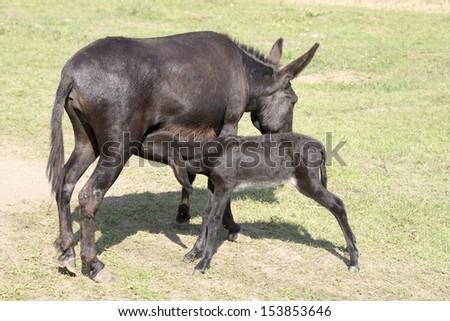 The donkeyl feeding foal at the zoo - stock photo