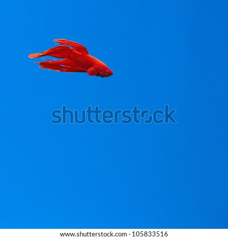 The dragon fish, a concept of a red betta fighting fish, swimming in a blue clear background - stock photo