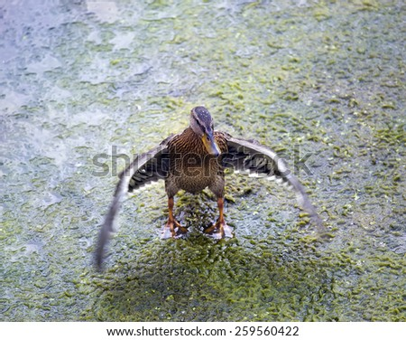The drake waves wings in the river - stock photo