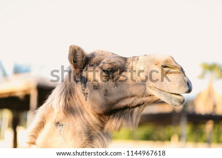 The dromedary, also called the Arabian camel (Camelus dromedarius), is a large, even-toed ungulate with one hump on its back. it is the smallest of the three species of camel, it is working animal.