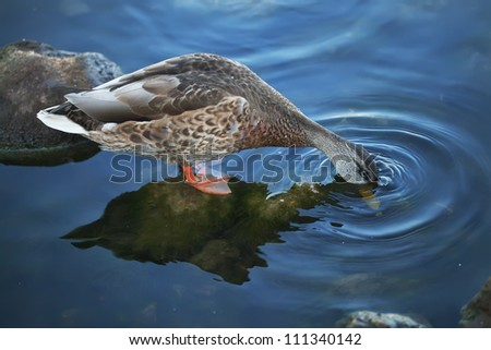 the duck catches bread in the river - stock photo