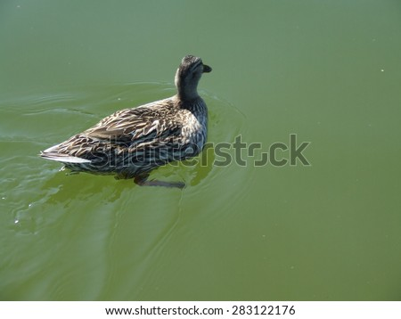 The duck floats on the river - stock photo
