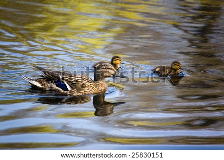 The duck with two ducklings swimming on water - stock photo