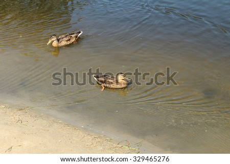 The ducks floating in a pond