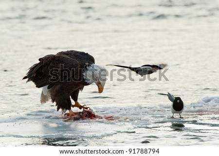 The eagle to be fed with a salmon on an ice floe. Nearby magpie