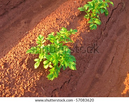 The early morning sun shining on a young potato plant growing in a row on a Prince Edward Island farm. - stock photo
