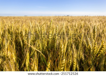 The ears of wheat on a background of blue sky