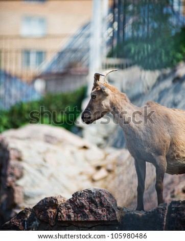 The east Caucasian tur (Capra cylindricornis) is a mountain dwelling goat - stock photo
