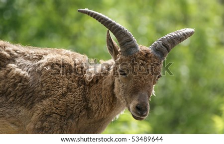 The east Caucasian tur (Capra cylindricornis) is a mountain dwelling goat found only in the eastern half of the Caucasus Mountains. zoo, Moscow, Russia - stock photo