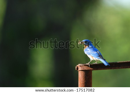 The eastern bluebird is the Missouri state bird. - stock photo