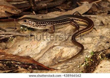 The Eastern striped skink is a species of skink found in a wide variety of habitats in Australia. A robust lizard with complex markings and patterns. The snout to vent length is around 123 mm. - stock photo