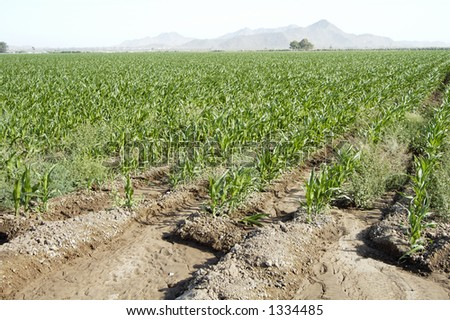 The edge of an irrigated corn field in the Arizona desert.