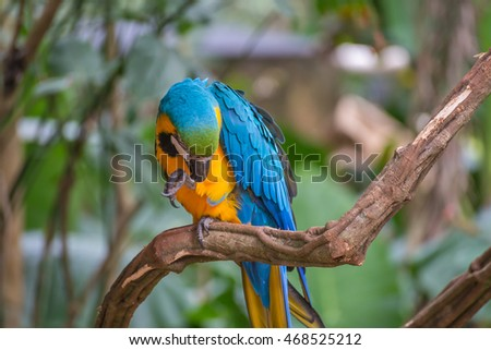 The either Blue and yellow Macaw or the Blue and gold Macaw (Ara ararauna) in Brazil. It is a member of the group of large Neotropical parrots.
